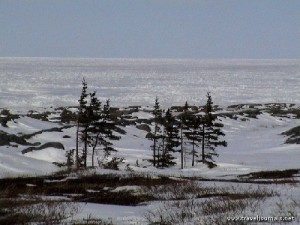 107830-arctic-trees-epinette-churchill-canada